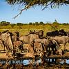 Blue wildebeest drinking 1