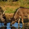 Blue wildebeest drinking 5