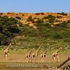 Giraffe herd 1