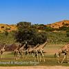 Giraffe herd 3