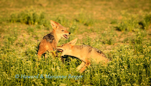 Jackals in the morning 2