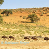 Blue Wildebeest ( Connochaetes taurinus) herd flee the water,  Kij Kij waterhole, Kgalagadi transfrontier park,South Africa