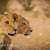 Lionesses at Polentswa