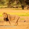 Lions at Kwang at sunrise 10