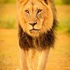 Lions at Kwang at sunrise 12