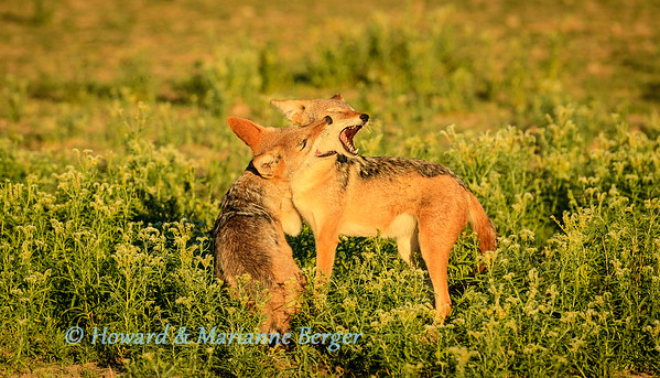 Jackals in the morning 3
