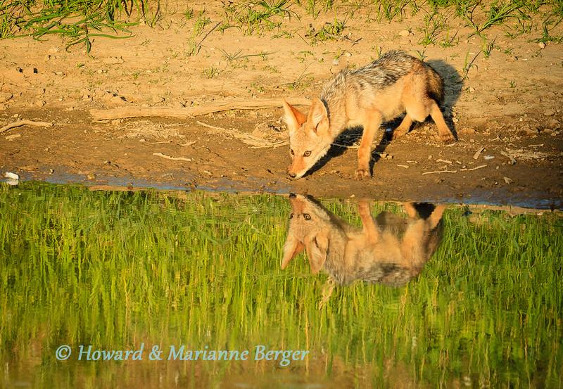 Jackal pup reflection 3