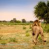Lions at Kwang at sunrise 3