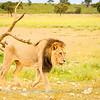 Lions at Kwang at sunrise 2