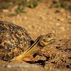 Leopard Tortoise poses