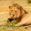 Lions at Kwang at sunrise 5