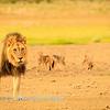 Lions at Kwang at sunrise 11