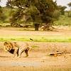 Lions at Kwang at sunrise 9