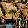 Blue wildebeest drinking 2