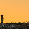 Backlit lioness