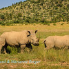 White rhinos 3