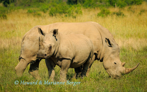White rhinos 1