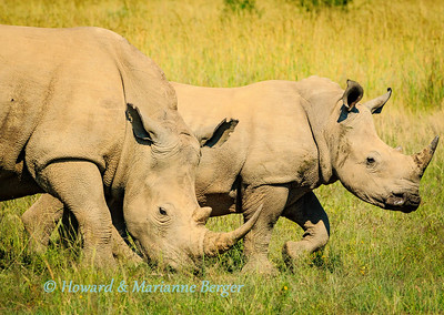 White rhinos 2