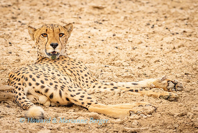Cheetah drinks & rests 1
