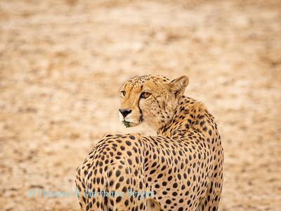 Cheetah drinks & rests 2