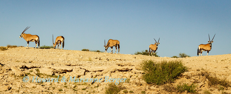 Gemsbok (Oryx gazella) herd on rocky look out above Melkvlei waterhole, Kgalagadi transfrontier park, South Africa