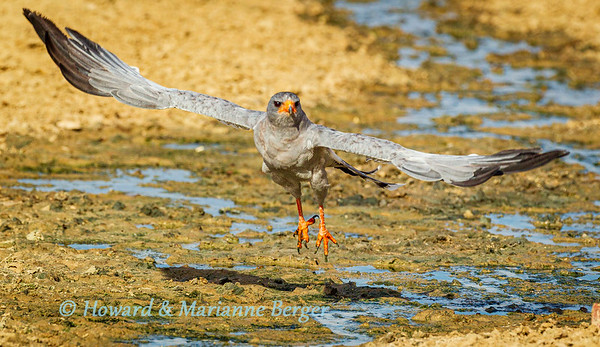 Goshawk takes off