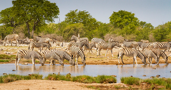 Zebra herd at Goas