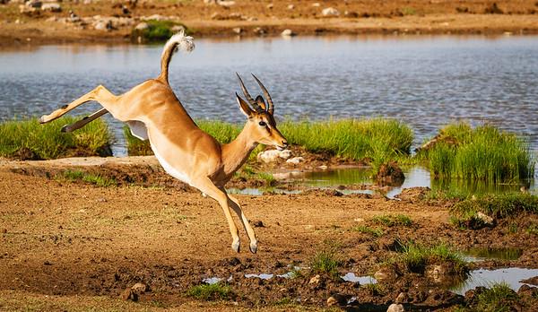 Impala at Goas 1