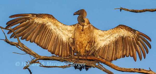Sunbathing vulture