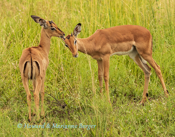Grooming fawns