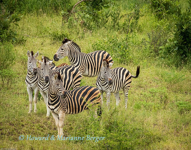 Zebra herd check out water hole