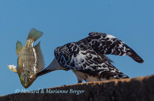 Stunning Kingfisher 2