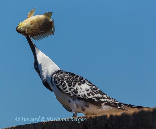 Stunning Kingfisher 1