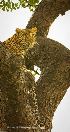 Leopard at Berg & Dal