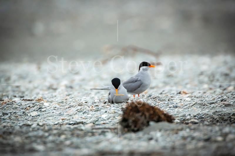 Black Fronted Tern