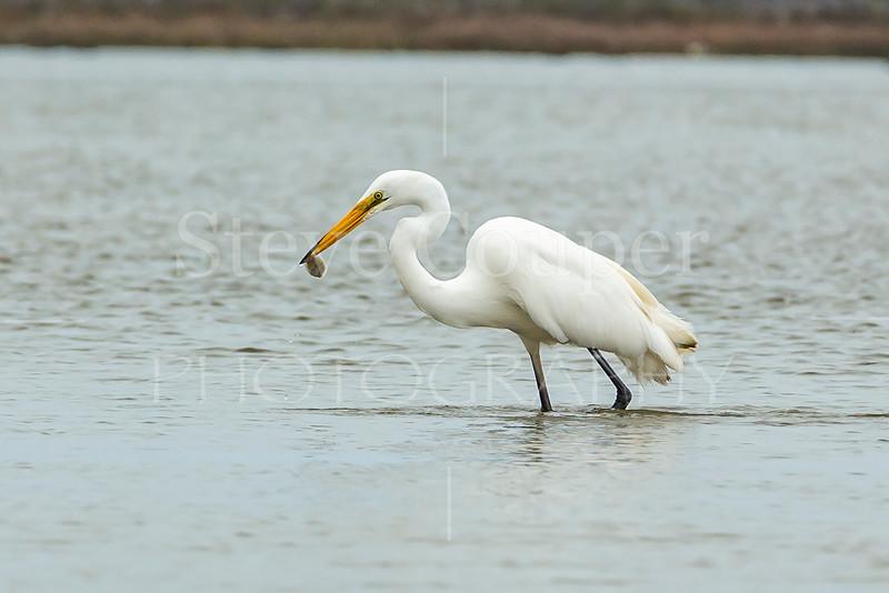 White Heron FIshing.