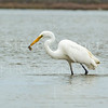 White Heron FIshing.