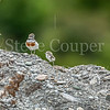 Banded Dotterel Parent & Chick