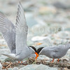 Black Fronted Tern