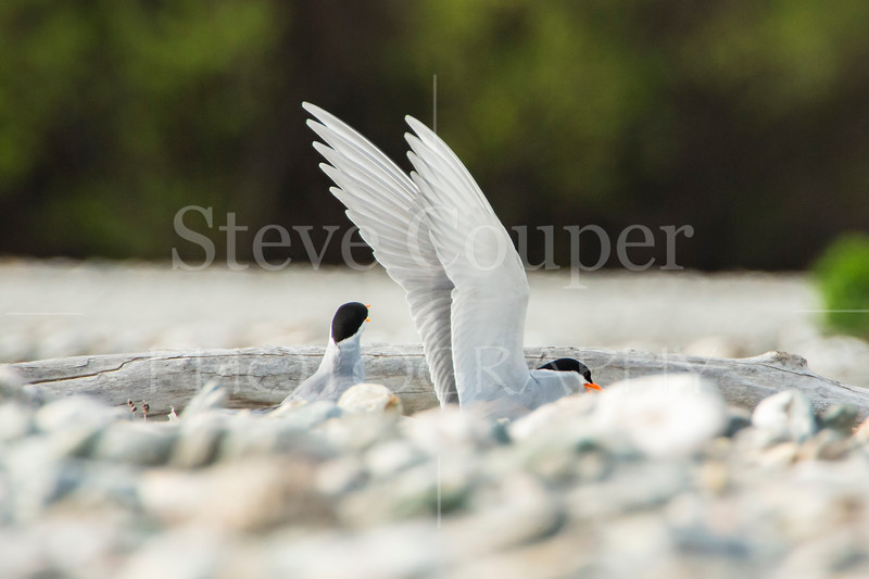 NZ Black Fronted Tern