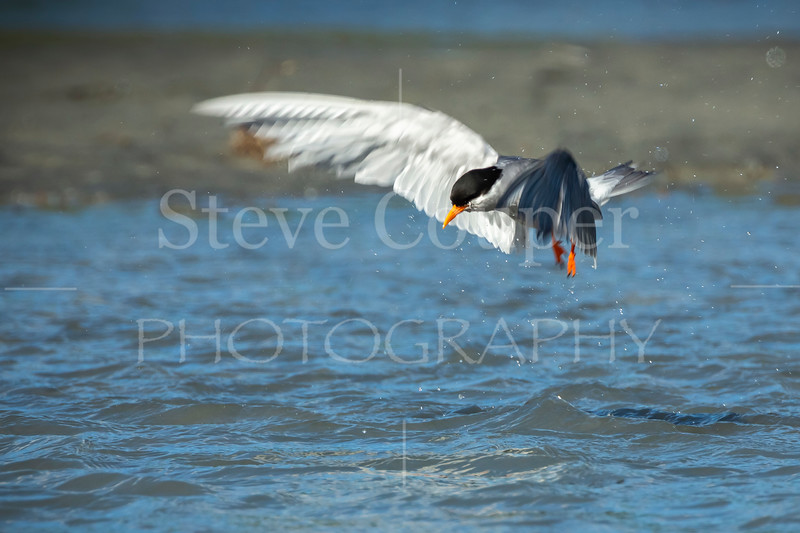 Hovering Black Fronted Tern