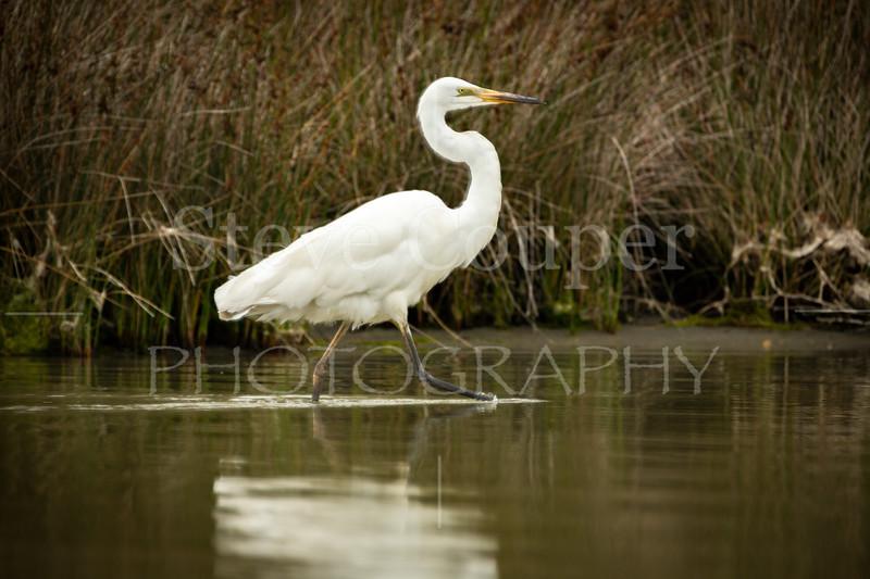 New Zealand White Heron