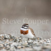 New Zealand Banded Dotterel