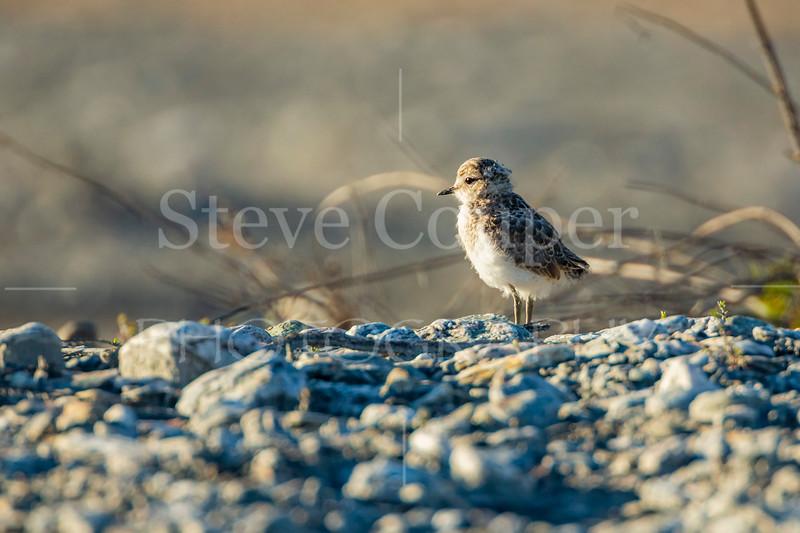 Juvenile Dotterel Chick