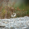 Young Banded Dotterel Chick