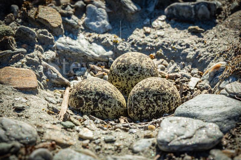 Dotterel Nest