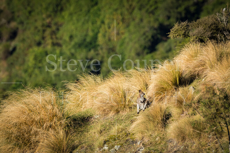 New Zealand wallaby