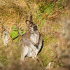 NZ Wallaby