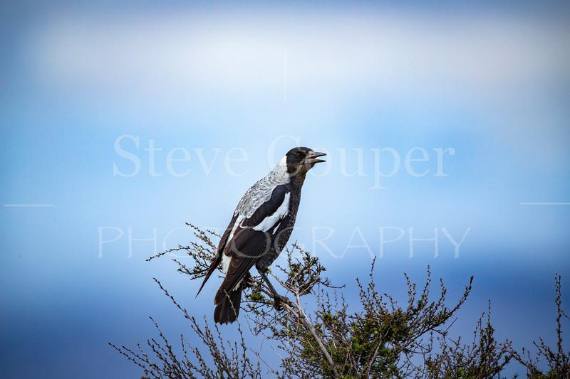 New Zealand Magpie