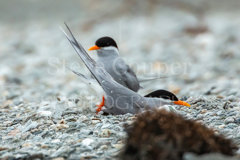 New Zealand Black Fronted Terns